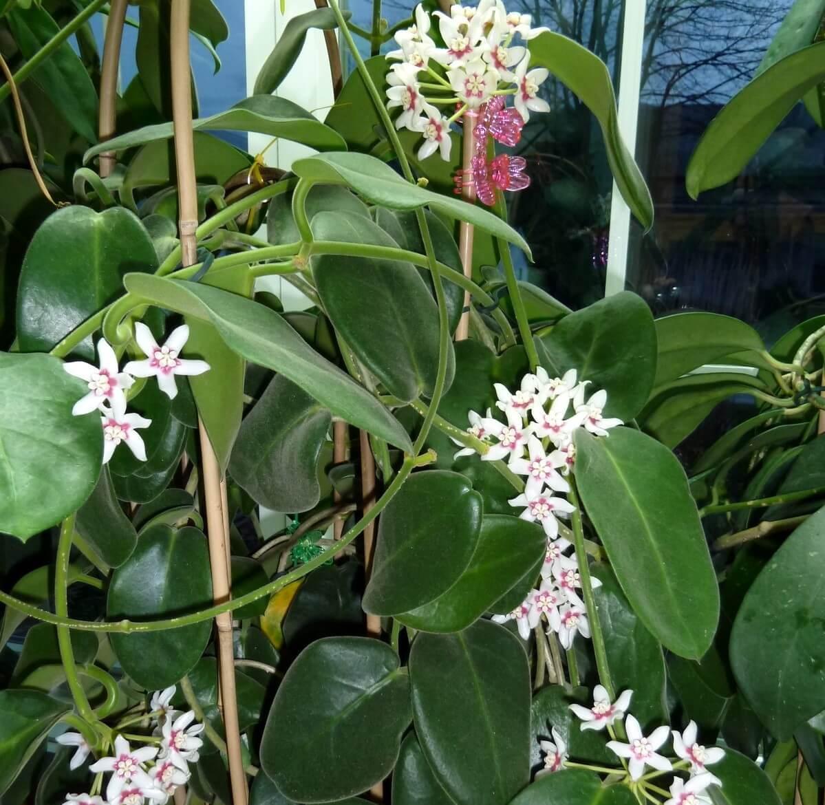 Hoya calycina