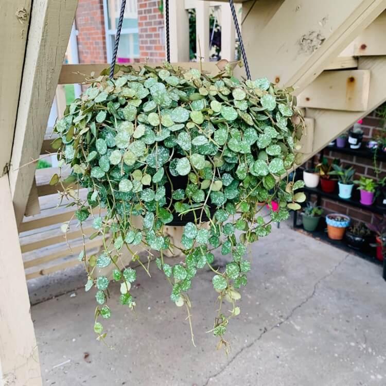 Hoya curtisii - Flowering plants