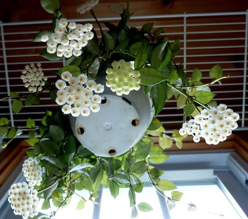 Hoya lacunosa - Flowering plants