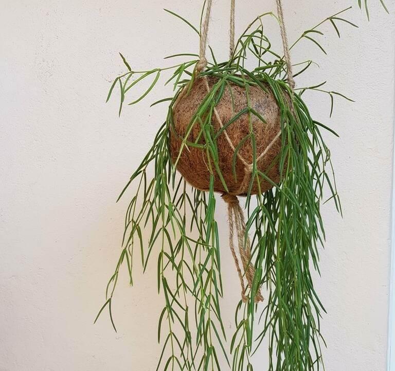 Hoya linearis - Indoor Plants