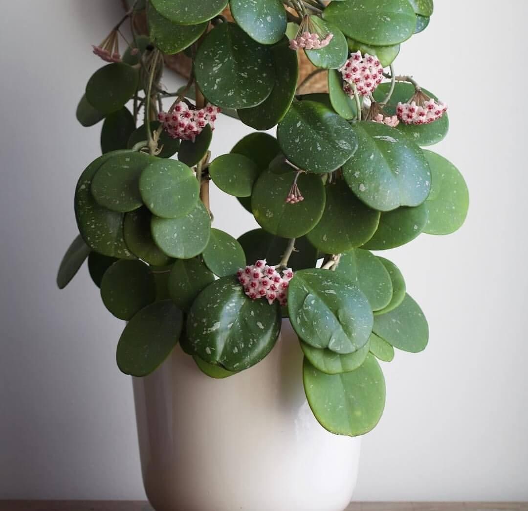 Hoya obovata - Flowering plants
